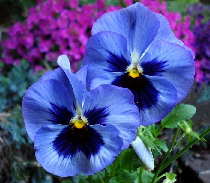 Het viooltje in de tuin van de koning weerspiegelingen 39 s blog - Hoe om te beseffen een tuin ...