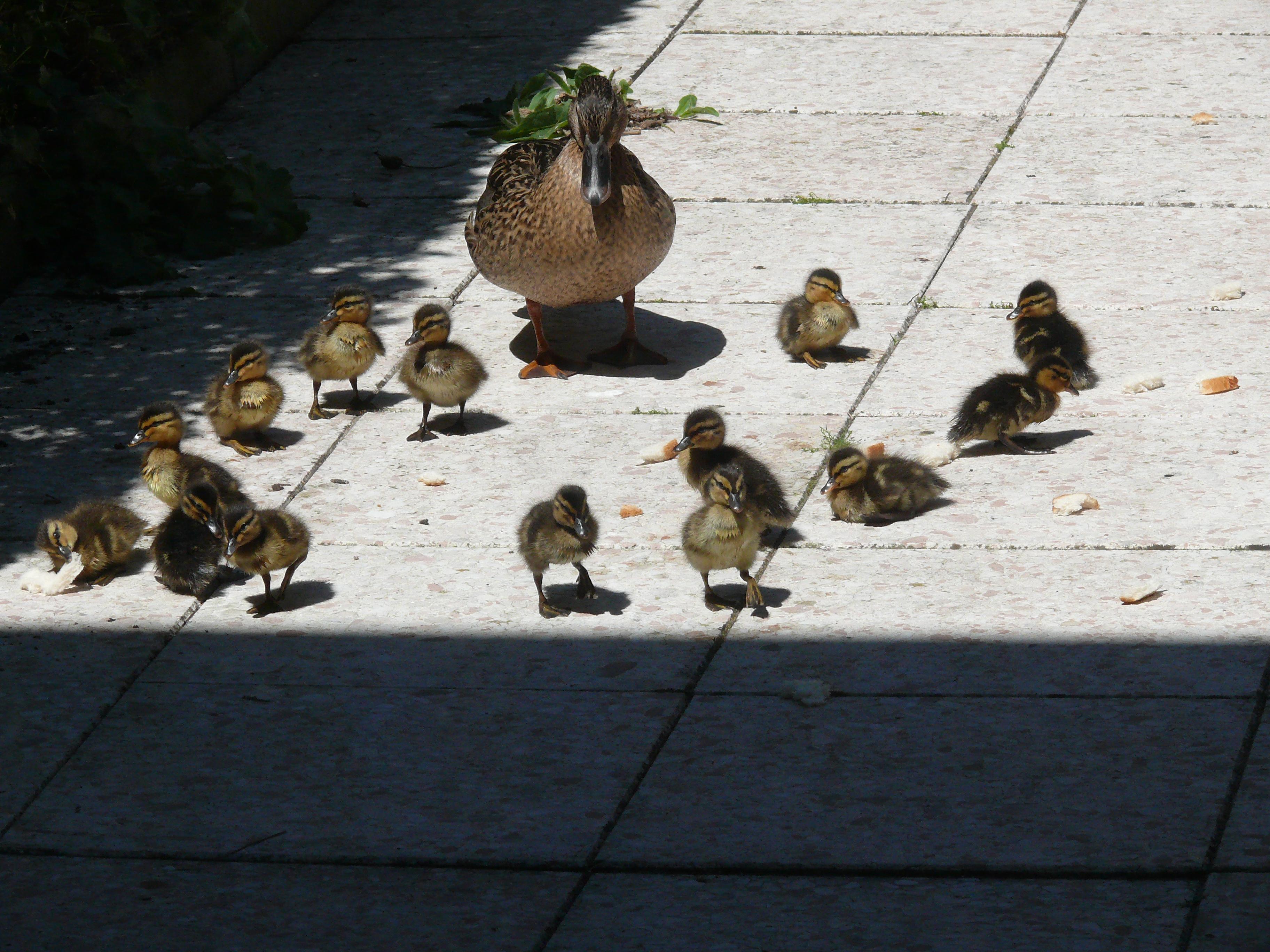 14 kleine eendjes in de vijver weerspiegelingen 39 s blog - Alle tuin ...