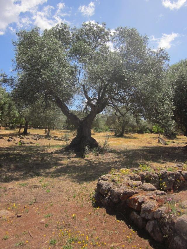 olijfboom Santa Cristina Sardinië